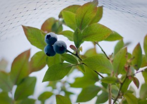 Blueberries-5
