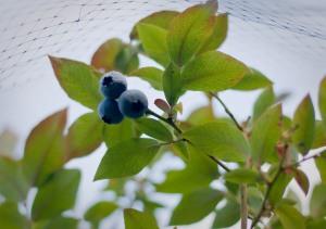 Blueberries-5